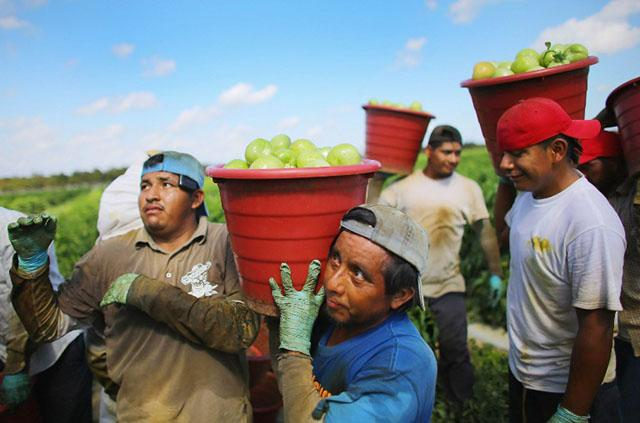 <p>Migrantes cargan cubetas con tomates en una plantación en Florida. Foto AFP/Joe RaedleFLORIDA CITY, FL - FEBRUARY 06: Workers carry buckets of tomatoes as they harvest them in the fields of DiMare Farms on February 6, 2013 in Florida City, Florida. The United States government and Mexico reached a tentative agreement that would go into effect around March 4, on cross-border trade in tomatoes, providing help for the Florida growers who said the Mexican tomato growers were dumping their product on the U.S. markets. Joe Raedle/Getty Images/AFP</p>