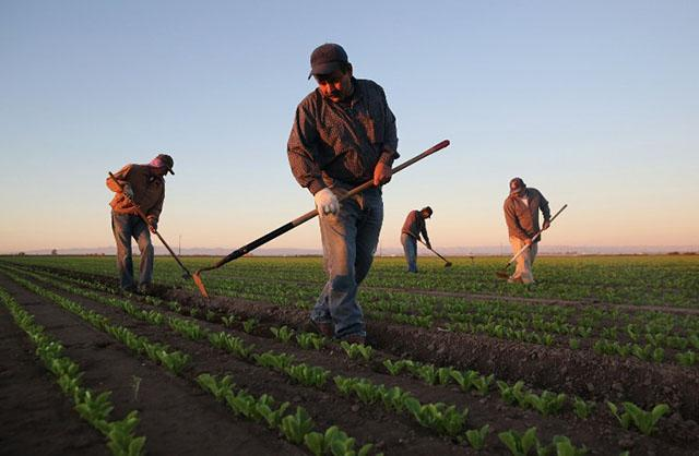 <p>Migrantes trabajan en una plantación en Holtville, California. Foto AFP/ John Moore HOLTVILLE, CA - OCTOBER 08: Mexican agricultural workers cultivate romaine lettuce on a farm on October 8, 2013 in Holtville, California. Thousands of Mexican workers cross the border legally each night from Mexicali, Mexico into Calexico, CA, where they pick up work as agricultural day laborers in California's fertile Imperial Valley. Although the Imperial Valley, irrigated from water diverted from the Colorado River, is one of the most productive agricultural areas in the United States, it has one of the highest unemployment rates in California, at more than 25 percent. Mexican farm workers commute each day from Mexicali to work in the fields for about $9 an hour, which many local U.S. residents shun as too low pay. John Moore/Getty Images/AFP</p>